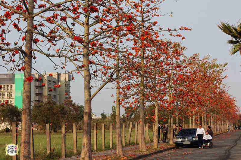 【台南-歸仁旅遊景點】台南高鐵站旁歸仁十五路木棉花火紅盛開